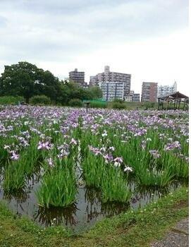1497003670427[1].jpg 歩こう会 「小岩菖蒲園 1 」 17-06.09.jpg
