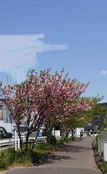 歩こう会 総会ウォーク 海老川の八重桜 18-4.13 DSC_0072.jpg